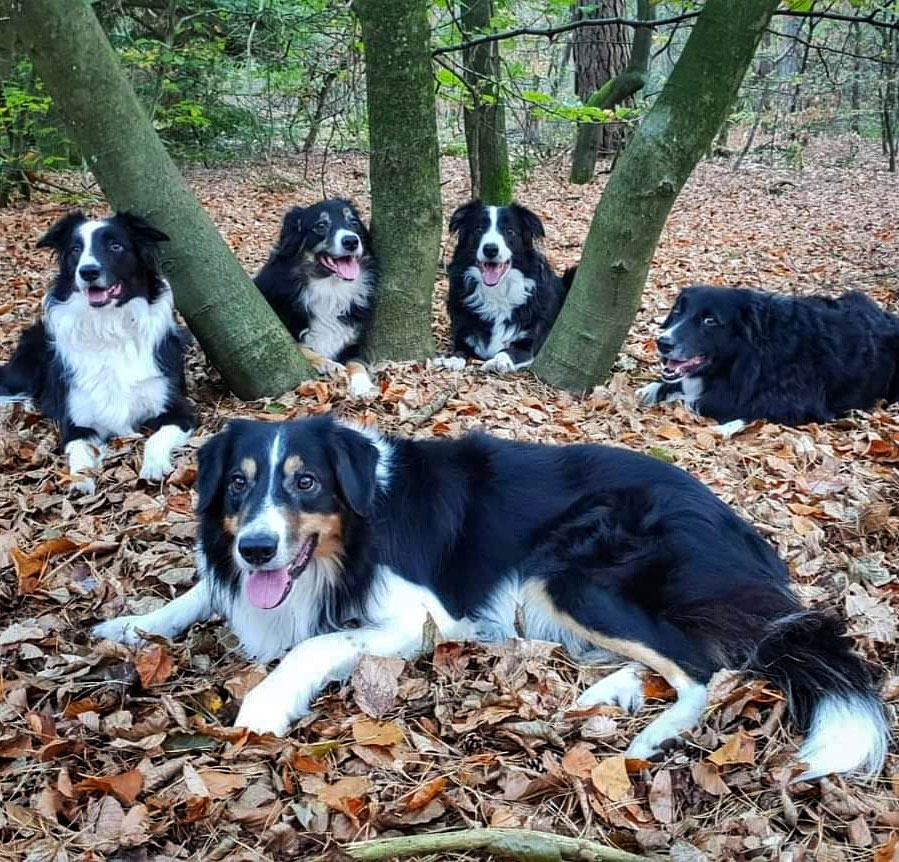 roedel bordercollies